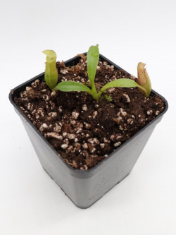 Nepenthes bongso hybrid seedgrow
