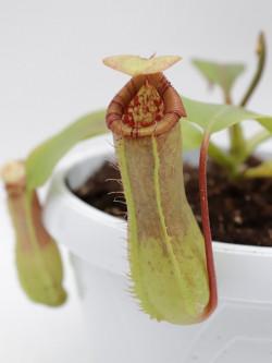 N. x ventricosa x truncata
