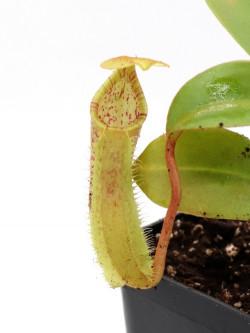 N. X (veitchii x burbidgeae) x ( thorelli x aristolochioides)