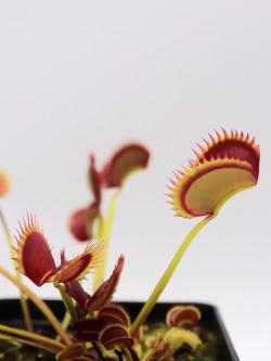 "Dionaea muscipula ""Polish dracula"""