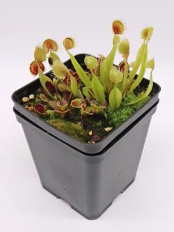 Dionaea muscipula 'kinchyaku'