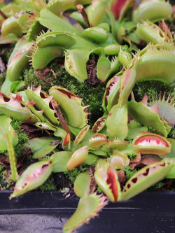 "Dionaea muscipula ""Fuzzy tooth"" DM02J BCP"