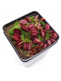 "Dionaea muscipula ""red microdent"""