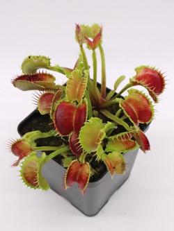 "Dionaea muscipula ""Wave clip"""