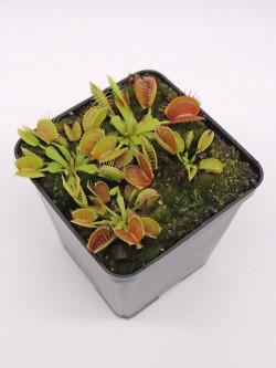 """Dionaea muscipula """"GJ Equobia"""""""