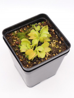Dionaea muscipula 'Green Wizard'