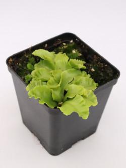 Dionaea muscipula ' Rose '