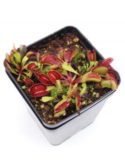 """Dionaea muscipula """"Paradisia"""""""