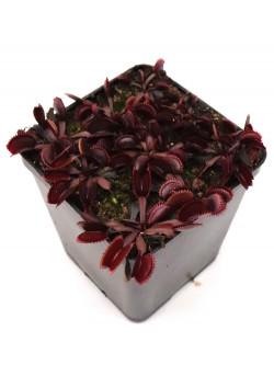 """Dionaea muscipula """"Red shark teeth"""""""