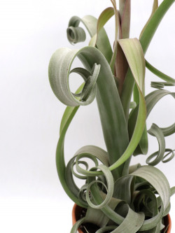 Tillandsia curly XL