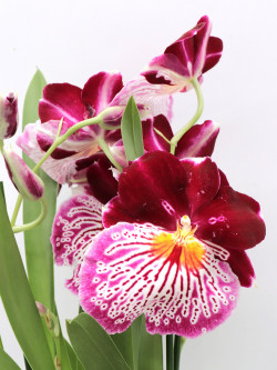 Orchidea Miltonia Purple flower