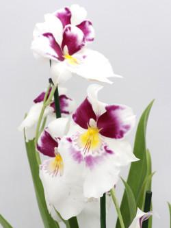 Orchidea Miltonia , Fiore bianco e viola profumato