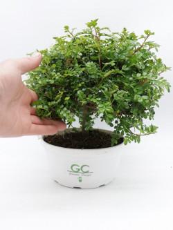 La pianta del pepe Sichuan