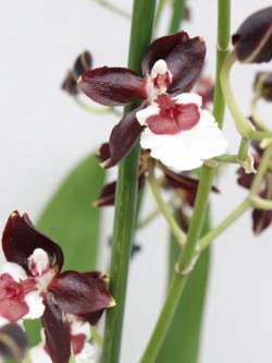 """Orchidea Colmanara """"Black pearl"""""""