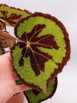 Begonia masoniana  small size