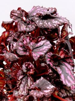 Begonia blad magic colour PURPLE