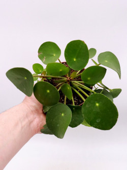 Pilea peperomoides XL - La pianta dei soldi