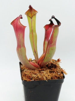 Heliamphora spec. Nov. Angasima