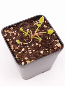 """Dionaea muscipula """"GJ Supernova"""""""