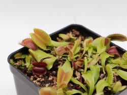Dionaea muscipula 'Red blade angel wings'