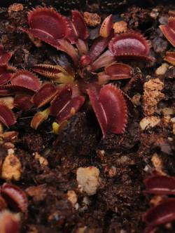 """Dionaea muscipula """"Gold strike"""""""