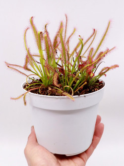 Drosera capensis   Large pot 14 cm