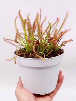 Drosera capensis   Large pot 14 cm