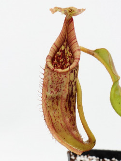 Nepenthes maxima ( G. Lumut...
