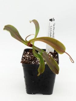 Nepenthes singalana...