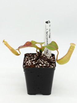 Nepenthes veitchii x...