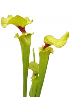 Sarracenia flava var. rugelii Large size assorted