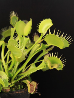 "Dionaea muscipula ""Yellow fused tooth"""