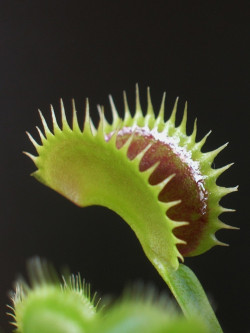 """Dionaea muscipula """"Tiger..."""