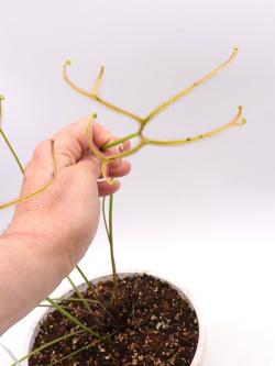 "Drosera binata multifida ""Giant"""