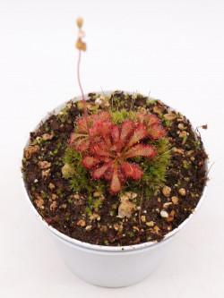 Drosera spathulata x ultramafica