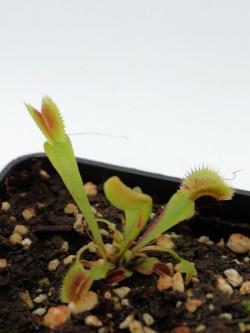 Dionaea muscipula 'Scarlatine'