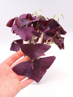 Oxalis triangularis purple