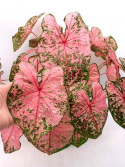 "Caladium ""Pink variegated"""