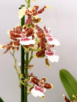 Orchidea Colmanara