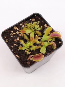 """Dionaea muscipula """"Pro-Giant"""""""