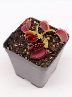 "Dionaea muscipula ""NAPP Vampire"""