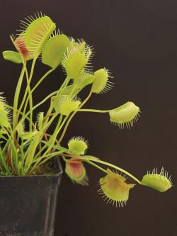 Dionaea muscipula 'Spider'