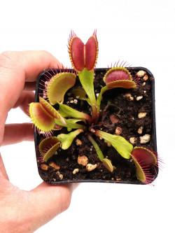 """Dionaea muscipula """"G7"""""""