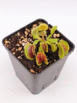 "Dionaea muscipula ""Like dracula "" Svarc"