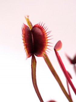 Dionaea muscipula F02 BCP