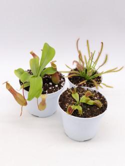 "Tris carnivoro Nepenthes x ""Ventrata"""
