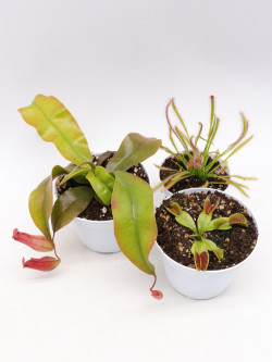 """Tris carnivoro Nepenthes """"Bloody mary"""""""