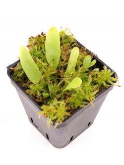 Utricularia longifolia f. forgetiana