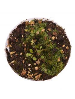 Utricularia amethystina