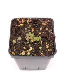 Utricularia tridentata